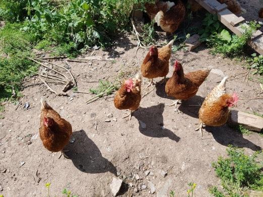 Rachel_chickens